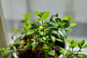 Herb Gardening 101: 5 Do's & Don'ts | Tastefully Frugal
